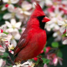 Carole loved cardinals  - Denise Beard