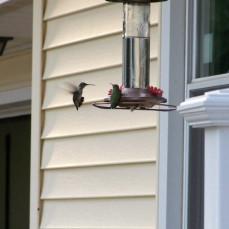 Hummingbirds Jody loved to feed every spring & summer - Dorothy Parker